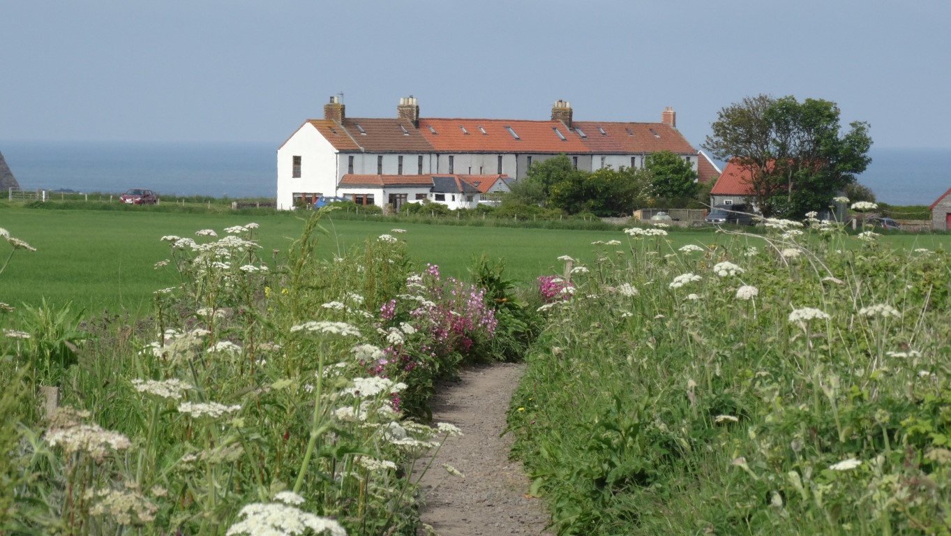 An excellent path leads all the way from Arbroath to Auchmithie and is lined by a fine array of wild flowers. This view is on the approach to Auchmithie and the line of houses are the former coastguard cottages.